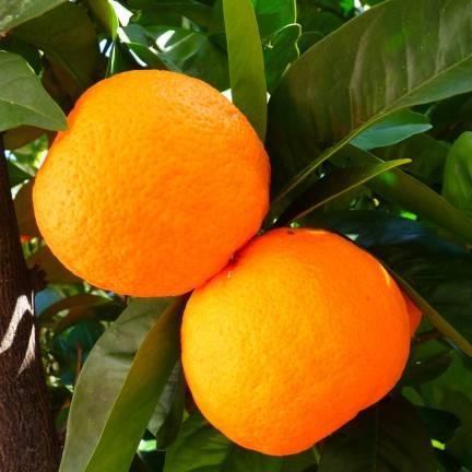 Oranger sinensis