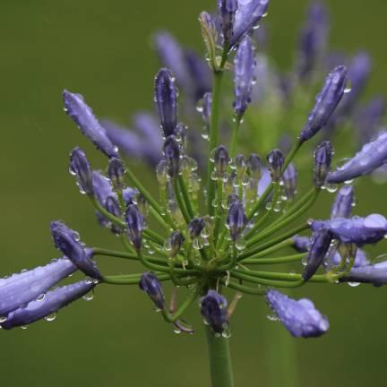 Agapanthe x Headbourne hybrids Blue