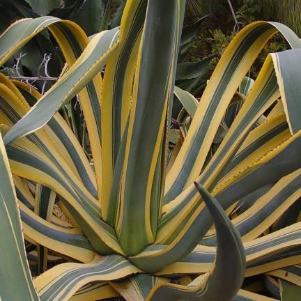 Agave d'Amérique americana variegata