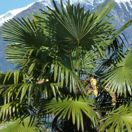 Palmier de Chine fortunei