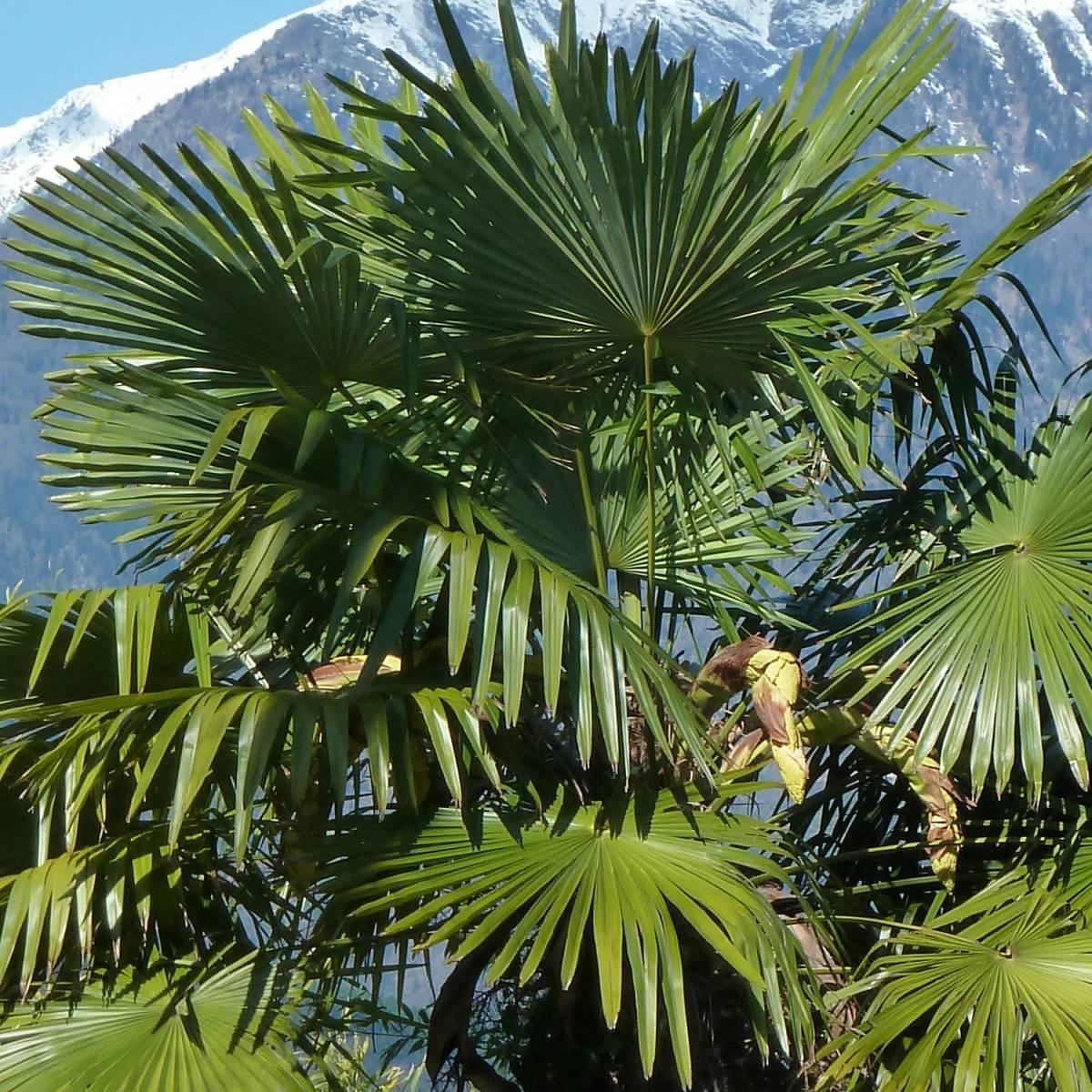 Palmier de chine fortunei - Image palmier ...