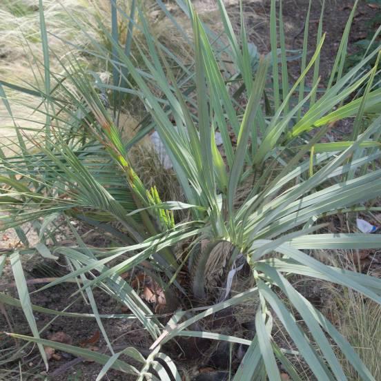 Palmier bleu du Mexique armata