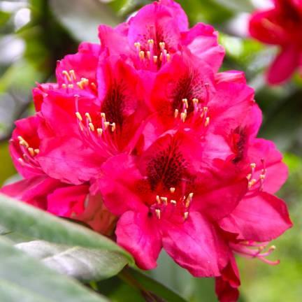 Rhododendron x Nova Zembla