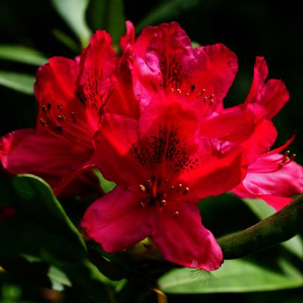 Rhododendron x Moser's Maroon
