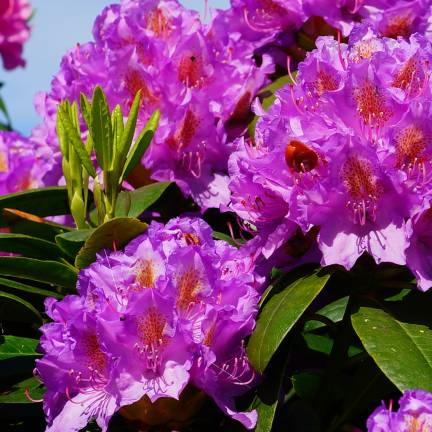 Rhododendron x Marcel Menard