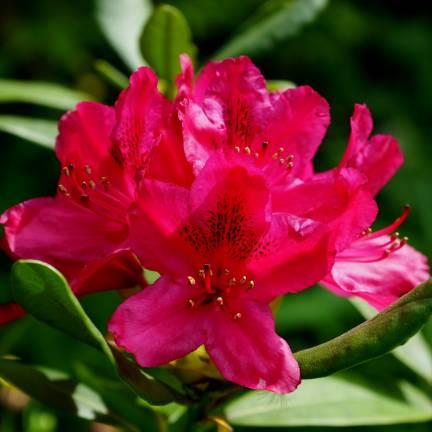 Rhododendron x Elizabeth Red
