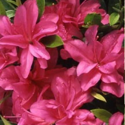 Azalée japonaise japonica Rosa King