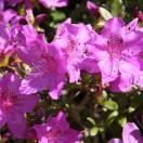 Azalée japonaise japonica Violacea