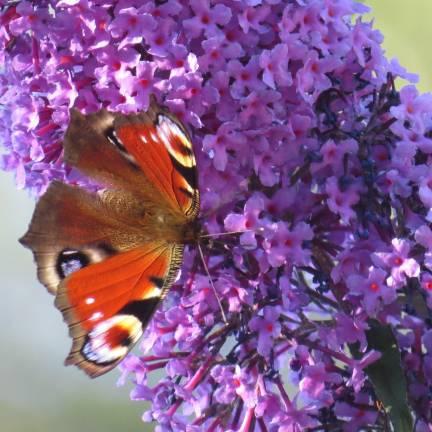 Arbre aux papillons x Lilac Chip 'Valbud3'