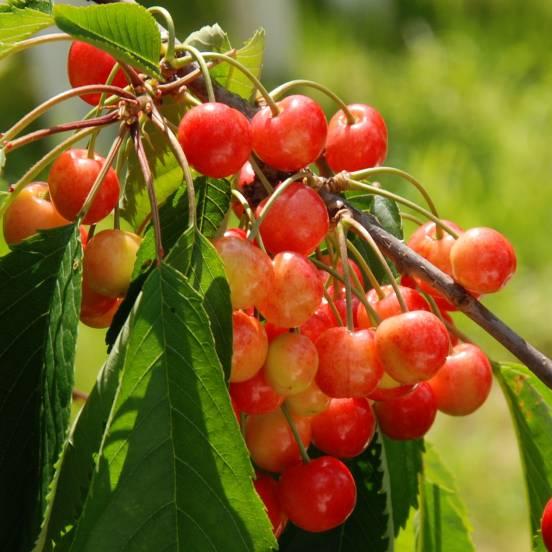 Cerisier Tardif de Vignola