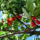 Cerisier Griotte Montmorency