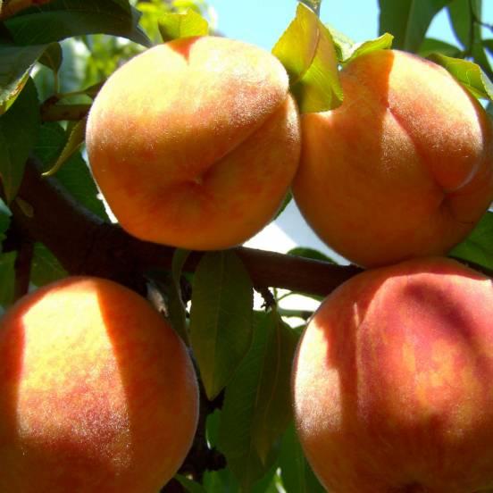 Pêcher persica Amber®