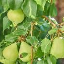 Poirier communis Garden Pearl® 'Pyvert