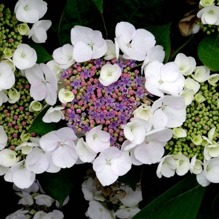 Hortensia aspera Sargentiana