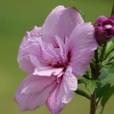 Hibiscus syriacus Pink Chiffon® 'JWNWOOD4'