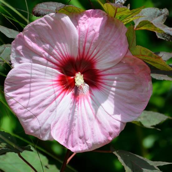 Hibiscus des marais moscheutos Blanc à Coeur Rouge