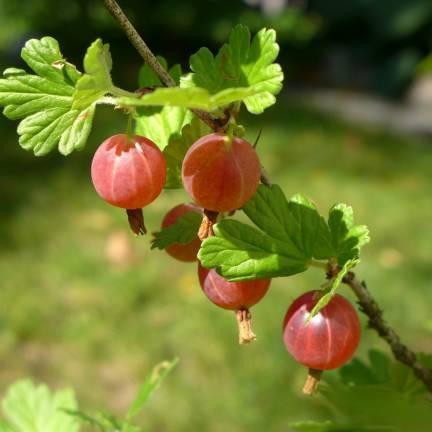 Groseillier à maquereaux uva-crispa Freedonia