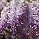 Glycine de Chine sinensis Flore Pleno