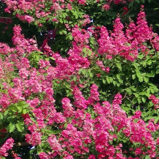 Lilas des Indes indica Rose Fuchsia