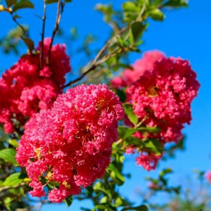 Lilas des Indes indica Rose Indien