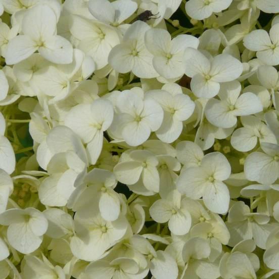 Hortensia macrophylla Soeur Thérèse