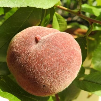 Pêcher persica Fuzalode