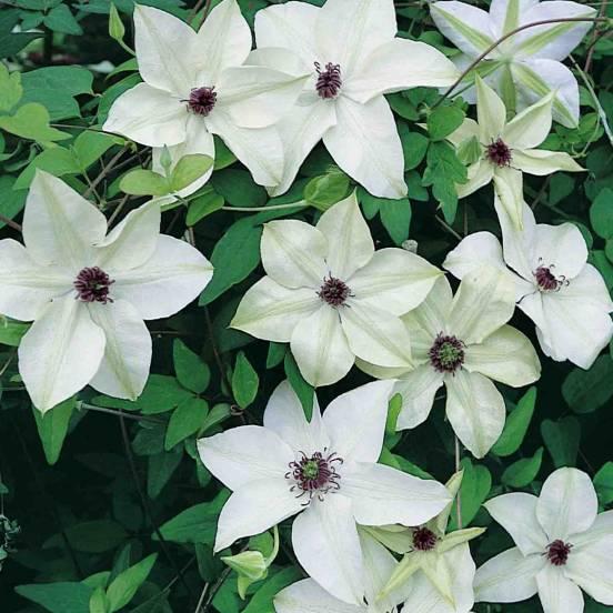 Clématite florida Pistachio™ 'Evirida'
