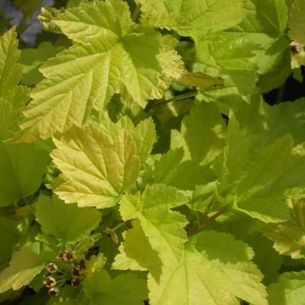 Physocarpe à feuilles d'obier opulifolius Dart's Gold
