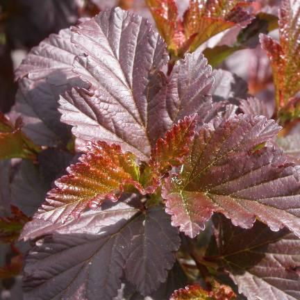 Physocarpe à feuilles d'obier opulifolius Diabolo®