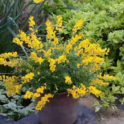 Genêt des Canaries racemosus Phebus® 'GENI138'