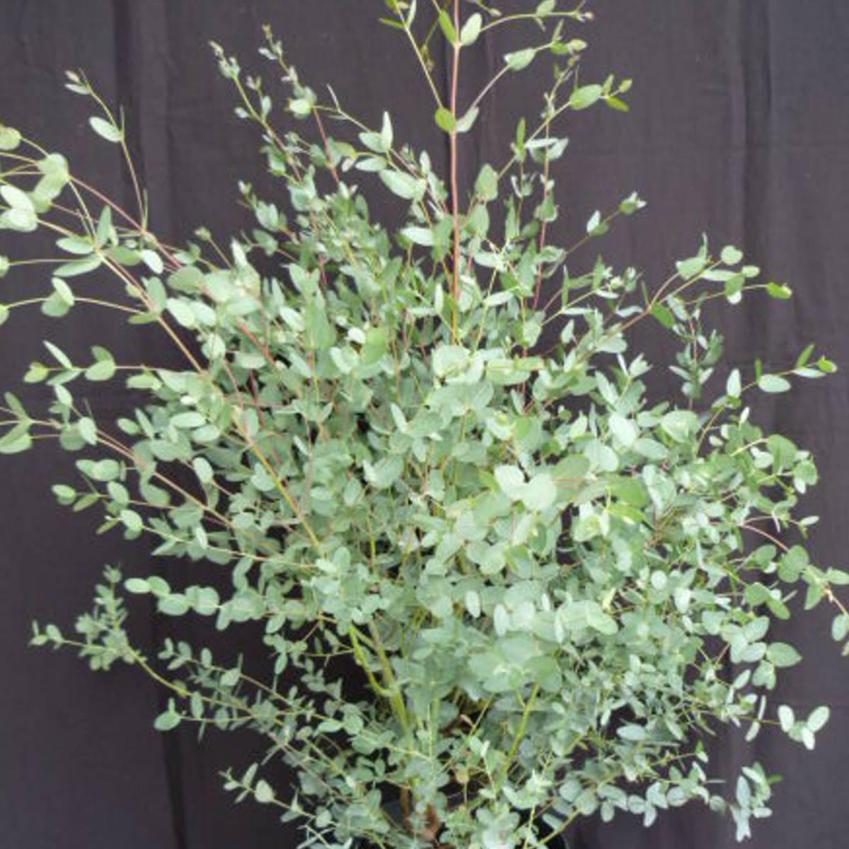 eucalyptus-gunni.jpg