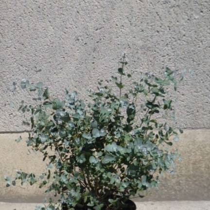 Eucalyptus pulverulenta Baby Blue