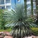Yucca rostré rostrata