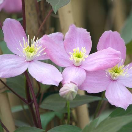 Clématite montana Fragrant Spring