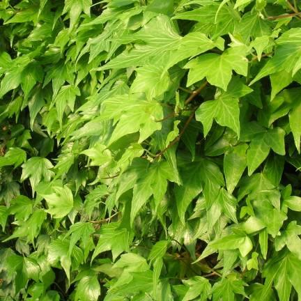 Lierre des bois helix Green Ripple