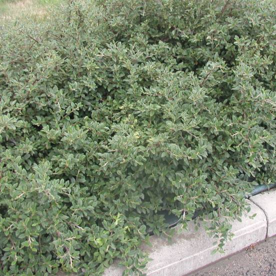 Cotoneaster x Saphyr Green® 'Belka'