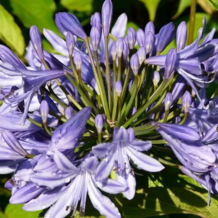 Agapanthe x Blue Triumphator