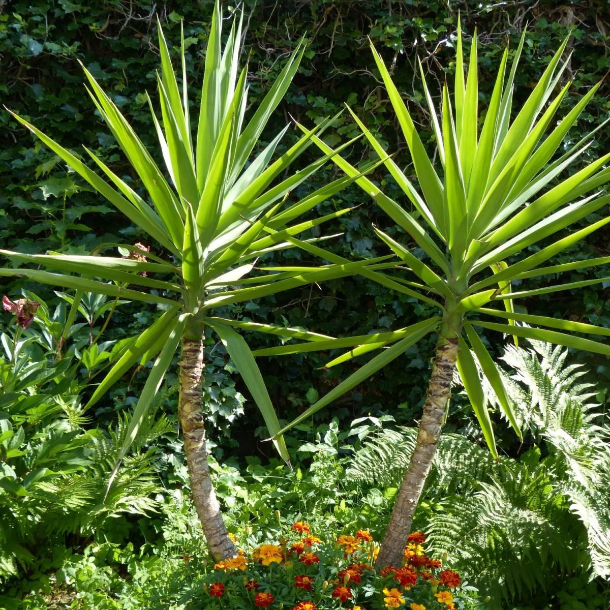 Yucca pied d 39 l phant elephantipes for Yucca elephantipes exterieur
