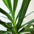 Yucca filamenteux