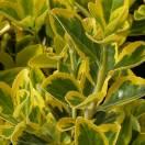 Fusain du Japon japonicus Microphyllus Aureovariegatu