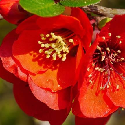 Cognassier du Japon speciosa Crimson and Gold
