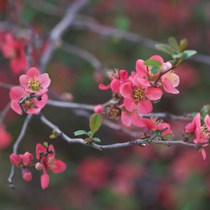 Cognassier du Japon speciosa Flocon Rose