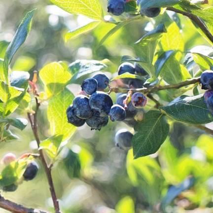 Myrtille corymbosum Hardy Blue