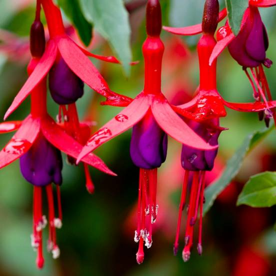 Fuchsia X Mrs popple