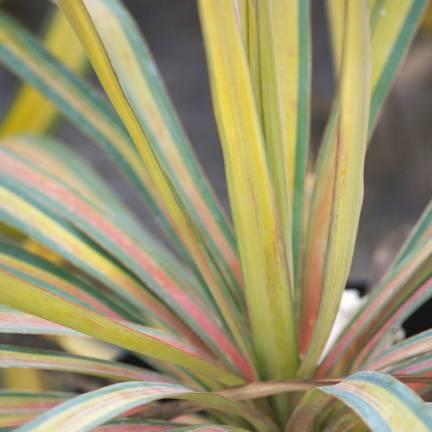 Yucca pleureur recurvifolia Banana Split