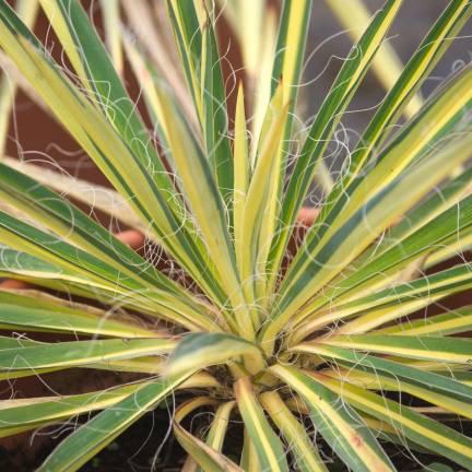 Yucca pleureur recurvifolia Golden Sword