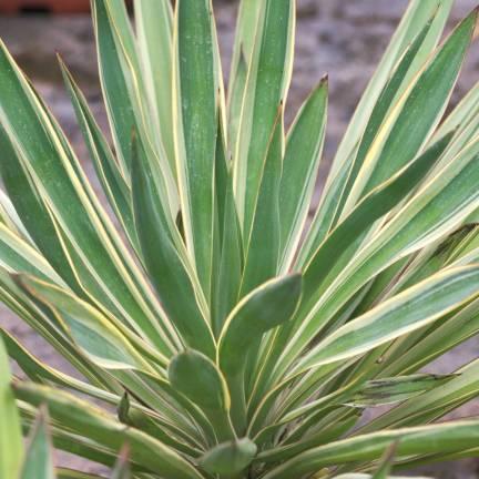 Yucca superbe gloriosa