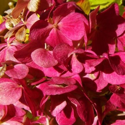 Hortensia macrophylla Red Baron