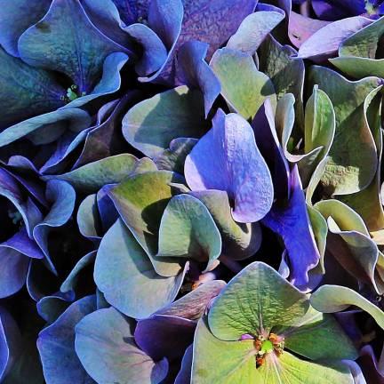 Hortensia macrophylla Amor®