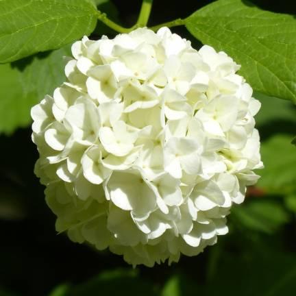 Hortensia macrophylla Mme Emile Mouillere